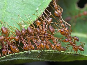 About Weaver Ants