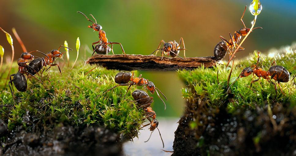 Harvesting Weaver Ants
