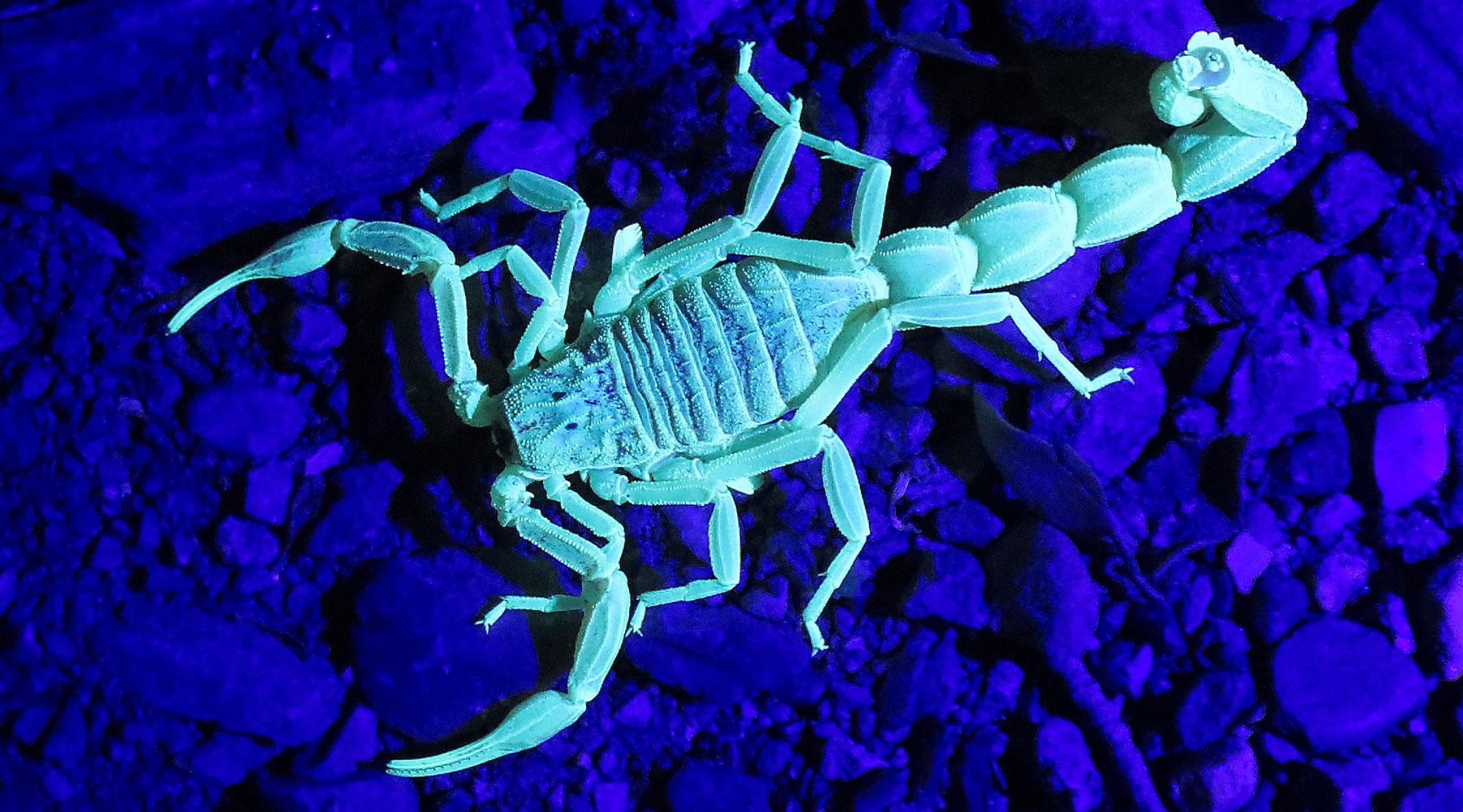 Glowing Scorpion