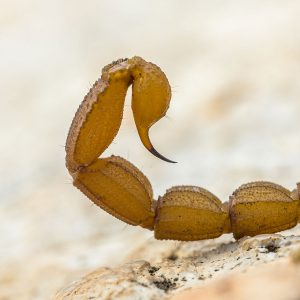 Scorpion Medicinal