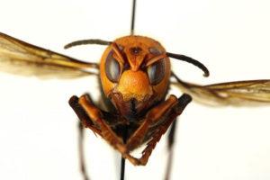 Scary Murder Hornet